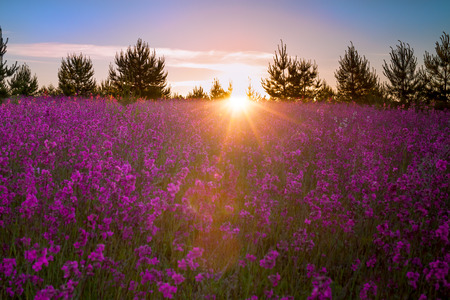 summer landscape with the blossoming  meadow at sunrise Banque d'images