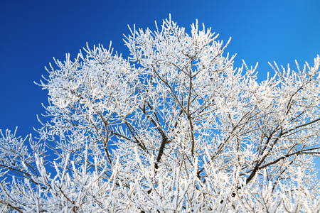 clear day in winter time: the tree branches covered with snow on background the blue sky Stock Photo