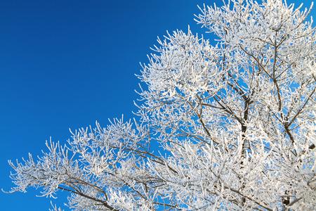 cielo azul: las ramas de los �rboles cubiertos de nieve en el fondo del cielo azul Foto de archivo