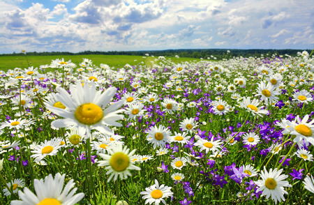 beautiful summer landscape with blossoming meadow and flowers