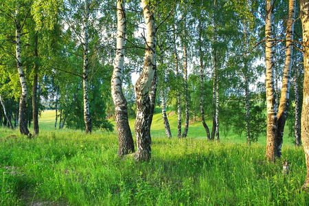 beautiful summer rural landscape with forest and  meadow on sunset. birch trees Stock Photo