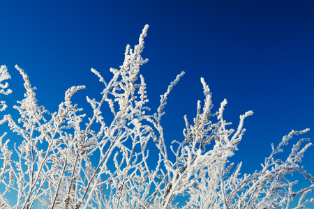 plant covered with snow against blue sky. grass on hoar frost Stock Photo