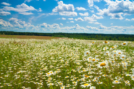 marguerite: summer landscape with a field, blue sky and white clouds. flowers camomiles on meadow.blossoming  chamomiles