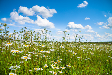 summer landscape with a field, blue sky and white clouds. flowers camomiles on meadow.blossoming  chamomiles