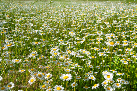 camomiles: flowers camomiles on meadow. blossoming  wildflowers chamomiles  close up Stock Photo