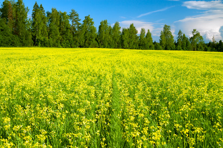 summer rural landscape with blooming field of yellow rapeseed, blue sky and forest. agriculture  Stock Photo