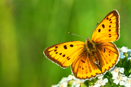 beautiful orange butterfly sits on a whites flowers on spring meadow. summer field with green grass, wildlife