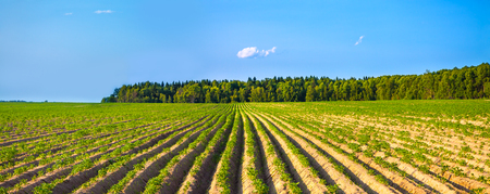 beautiful rural landscape with a potato field. agriculture panorama crop on field. panoramic view