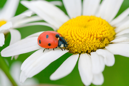 marguerite: ladybug sits on a camomile flower a close up macro