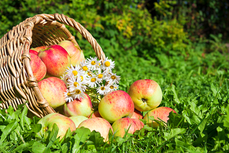Fruit ripe, red, juicy apples in basket. harvest of apples in an autumn orchard. thanksgiving  holiday