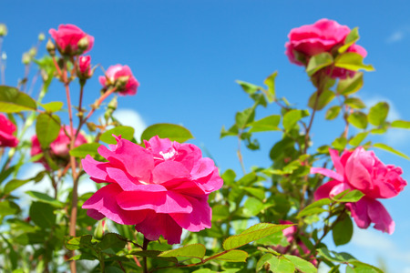 Flowers of a pink roses have flowering in a garden on background flowers of a pink roses have flowering in a garden on background of blue sky mightylinksfo