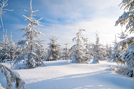 beautiful winter landscape with forest,snow and blue sky. Sunny frosty wintry day. Christmas and new year trees covered with snow in winter forest