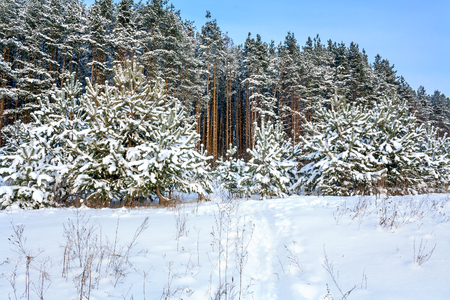 winter rural landscape with forest, snow and path. wintry snowy field and forest