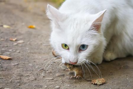 白猫は、マウスをキャッチしました。マウスのための狩猟 写真素材