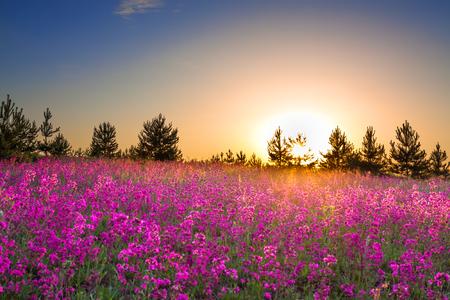 lente wilde bloemen op een veld. zomer rurale landschap met paarse bloemen op een weide en zonsondergang. bloeiende veld wilde bloemen op zonsopgang.