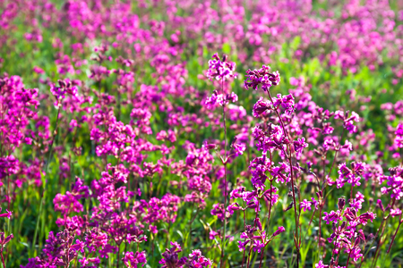 spring wild flowers on a  meadow. summer rural landscape with purple flowers on a field. blossoming  field wildflowers