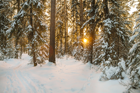 beautiful winter landscape with forest and sunset. wintry rural landscape with snow and fir trees in woodland. Frosty wintry evening sunrays in coniferous forest Stock Photo