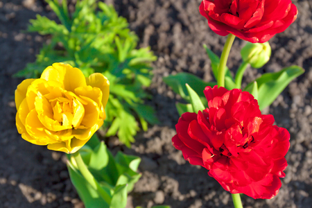 spring flower red and yellow tulip flowering in garden on a flower bed. spring landscape with blooming flower. blur background Stock Photo