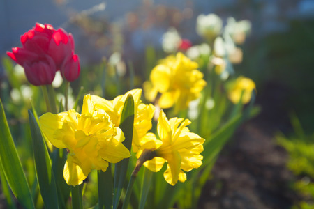 Spring flowers daffodils and tulips flowering in garden on a stock spring flowers daffodils and tulips flowering in garden on a flower bed spring landscape with mightylinksfo