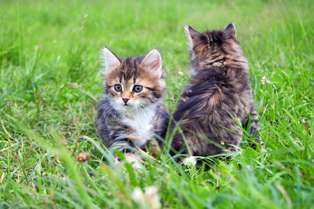 two  little furry kitten playing in spring meadow. kitten on green grass, healthy lifestyle. Stock Photo