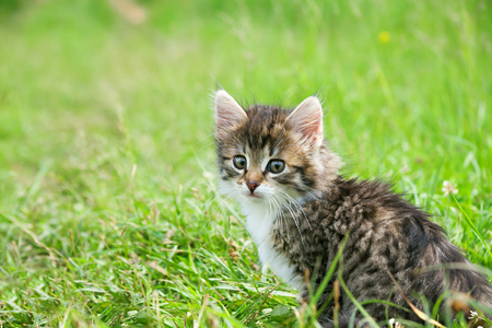 Little furry kitten playing in spring meadow. kitten on green grass, healthy lifestyle. Stock Photo