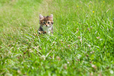 little furry kitten playing in spring meadow. kitten on green grass, healthy lifestyle.