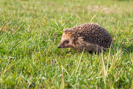 wildlife young european hedgehog on green grass. wild life nature Imagens
