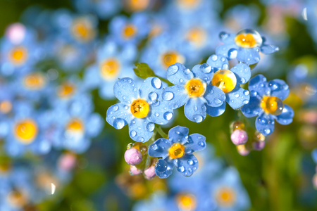 blue forget me not flowers with water drops