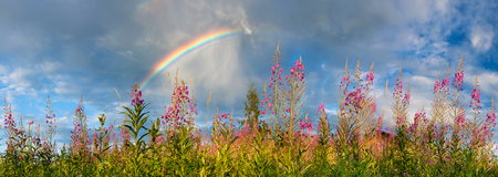 summer landscape panorama with flowering meadow and rainbow in sky. panoramic view with blossom pink flowers on the field Stock Photo