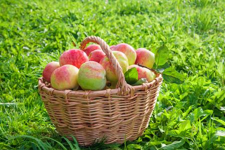 harvest juicy ripe fruit apples in basket. new harvesting crop in orchard