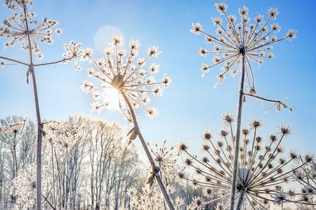 Pflanze mit Schnee gegen blauen Himmel bedeckt. kalter Wintertag Standard-Bild