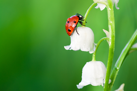 insect ladybug sits on a flower of a lily of the valley