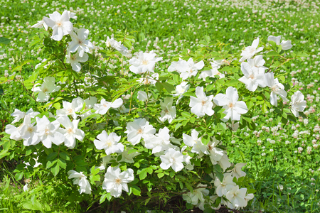 flowering bush of a rose blooming in white flowers. buds of roses were  blossoming on a bush in a garden 版權商用圖片 - 117765109