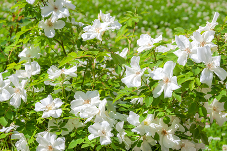 flowering bush of a rose blooming in white flowers. buds of roses were  blossoming on a bush in a garden 版權商用圖片 - 117765108