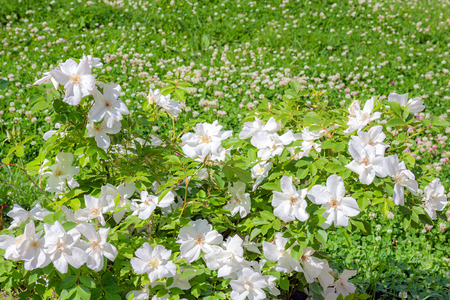 flowering bush of a rose blooming in white flowers. buds of roses were  blossoming on a bush in a garden 版權商用圖片 - 117765111