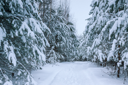 gloomy grey landscape with winter forest and trees covered with snow. winter scenery snowy with pine 版權商用圖片 - 117765113
