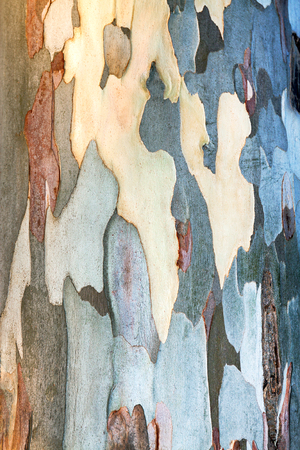 abstract background of eucalyptus bark. texture khaki of trunk of a eucalyptus tree
