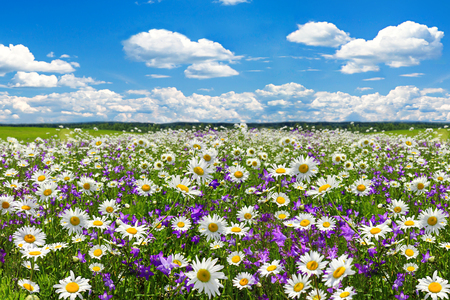 spring landscape with flowering flowers on meadow. white chamomile and purple bluebells blossom on field. summer view of blooming wild flowers in meadow 版權商用圖片 - 117765219
