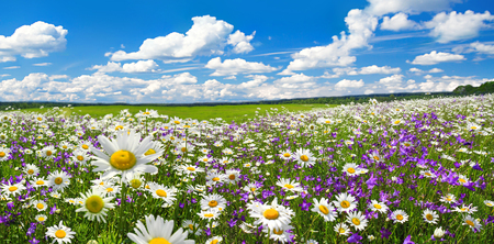 spring landscape panorama with flowering flowers on meadow. white chamomile and purple bluebells blossom on field. panoramic summer view of blooming wild flowers in meadow 版權商用圖片 - 117765220
