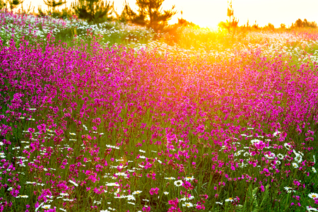 spring landscape with  flowering flowers on a meadow and  sunset. wild flowers bloom in the summer field 版權商用圖片