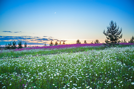 beautiful spring night landscape with blooming wild flowers in meadow. summer field with flowering white flowers chamomiles, blurred background