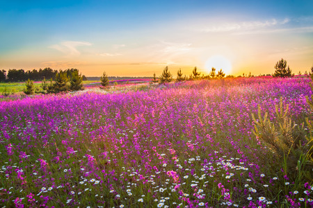 beautiful spring landscape with blooming wild flowers in meadow and sunrise. summer field with flowering purple flowers