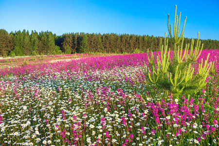 beautiful spring landscape with flowering flowers in meadow. purple wild flowers and white chamomiles blossom in summer field. springtime image scene blooming  wildflowers