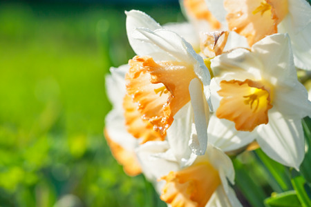 spring flowers daffodils blossomed in garden. white narcissus flowering on flower bed blurred background