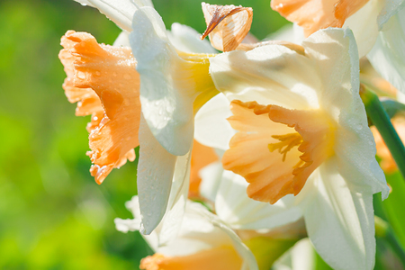 spring flowers daffodils blossomed in garden. white narcissus flowering on flower bed 版權商用圖片 - 119528538