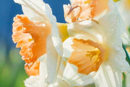 spring flowers daffodils blossomed in garden. white narcissus flowering on flower bed 版權商用圖片 - 119528539