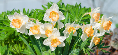 spring flowers daffodils blossomed in garden. white narcissus flowering on flower bed