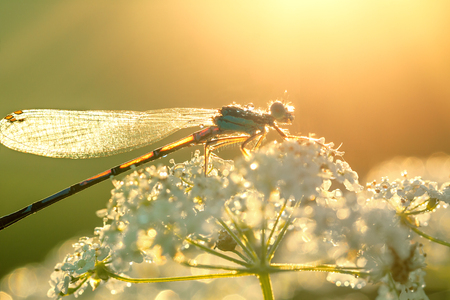 dragonfly sitting on white flowers, wildlife. sunrise over a spring meadow 版權商用圖片