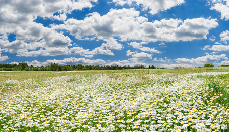 spring landscape panorama with flowering flowers on meadow. white chamomile blossom on field. panoramic summer view of blooming wild flowers in meadow 版權商用圖片 - 119528724