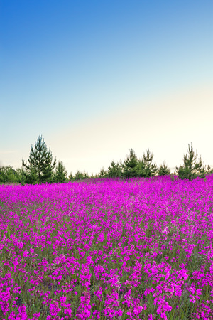 beautiful spring landscape with blossoming flowers on meadow, sunrise. purple wildflowers flowering on meadow.